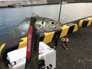 アジ釣れすぎ注意